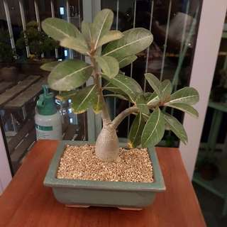 Young Adenium Plant.