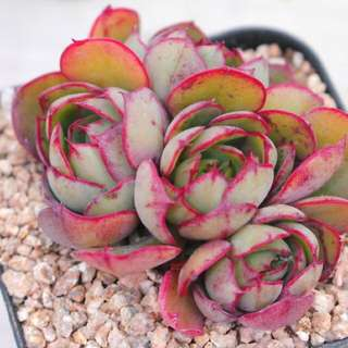 😍RARE SUCCULENTS: S024 - Echeveria Yangjin (FIRST COME FIRST SERVE! VERY LIMITED STOCKS!)😱