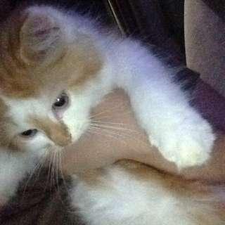 Kucing persia anggora