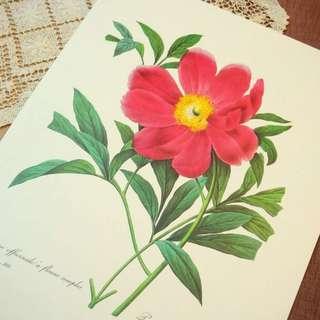 古董歐洲植物學花卉彩圖