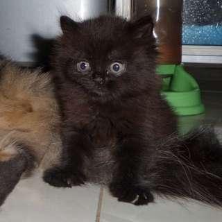 Kucing Kitten Persia Black Tabby