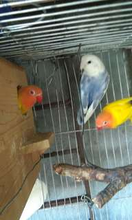 African love birds-lutino (pair)