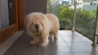 Anjing  Chow Chow  betina