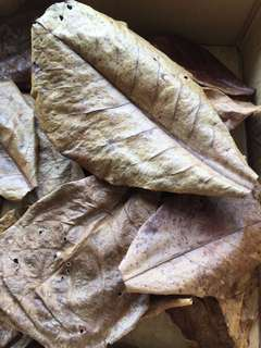 Ketapang / Catappa / Indian Almond Leaves
