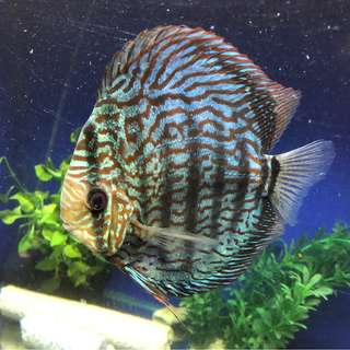 Discus to sell