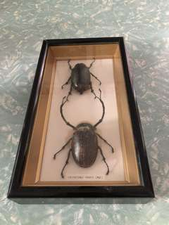 Endangered beetles