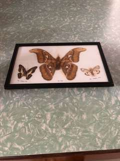 Vintage framed moth. Huge!