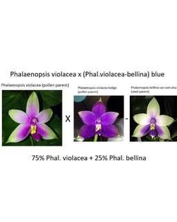 Phalaenopsis violacea x (violacea-bellina) blue