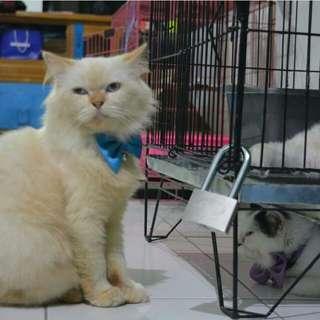 Kucing Persia Medium Longhair Jantan
