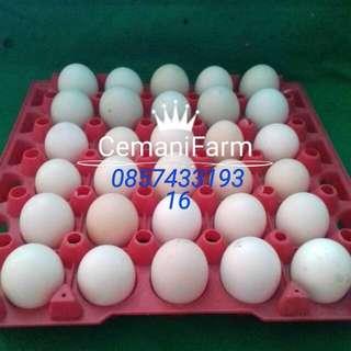 Telur Ayam Cemani dari indukan Lidah Hitam