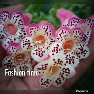 """Kohleria """"HCY's Fashion Time"""" (Sold out)"""