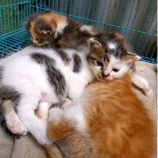 anak kucing persia mix domecat