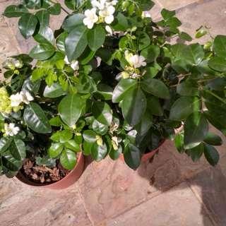 Murraya white scented flowers