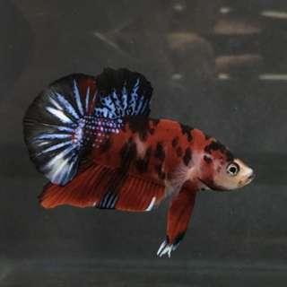 Betta Fish tank (used)