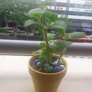Home grown plant indian  Borage mint Treatment of cought sore throats
