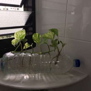 Money plant grow in water bottle