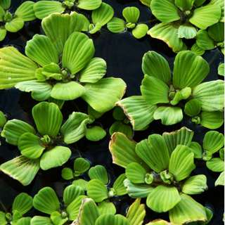 aquatic plants for aquarium and ponds