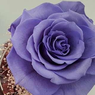 Moss McBlack 正版 小王子 保鮮花 永生花 禮物 不凋謝花 藍色 紫藍色 裝飾 女朋友