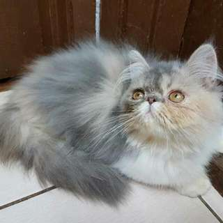 Kucing Persian Flat Face