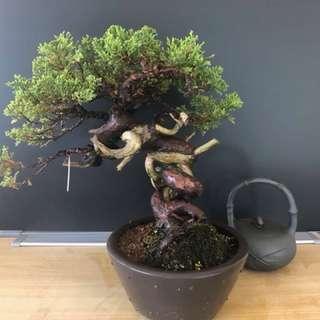 Japan Juniperus