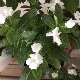 White periwinkle Plant in a bag