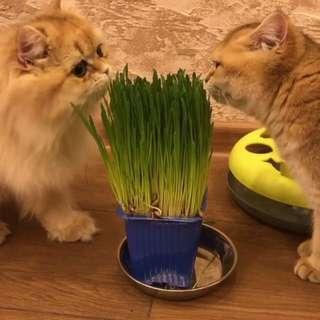 Cat grass seeds 🐱🌱