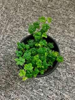 Ficus Pumila 'Quercifolia'