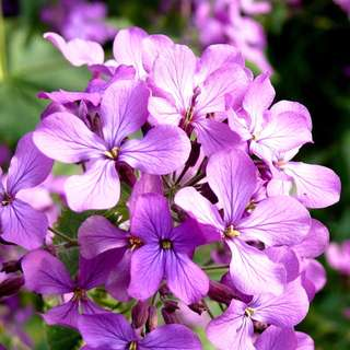 Night Scented Stock Seed