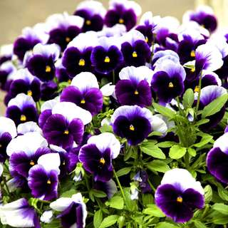 Purple Pansy Seeds