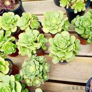 Succulents from Korea! Aeonium Lilypad