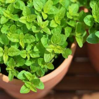 Sweet Marjoram (Majorana hortensis moench.) Herbal Plant Seeds, Aromatic Culinary Herb