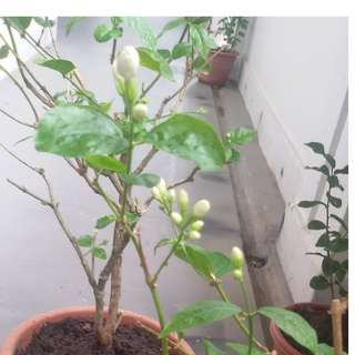 Moving out sale / Clearance / CNY / JASMINE plant/HORTI/ GARDEN /GARDENING/tree /plant/frangance /