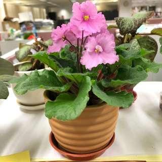 蘭花連盆-自家種植