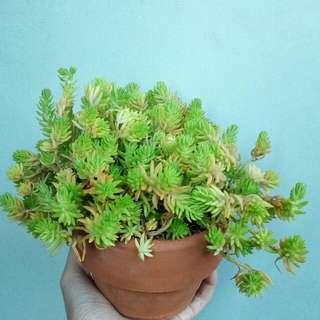 """Angelina Bush"" Succulent"