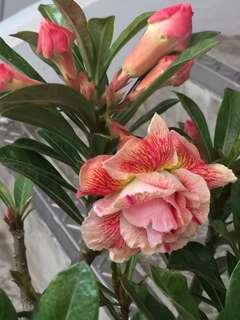 Desert Rose/Adenium (big Caudex and rare color)