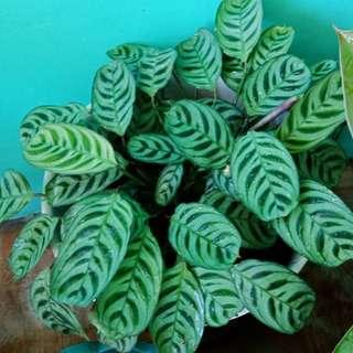 Calathe indukan(tanaman hidup) trmasuk pot. By gosend Rimbun bgt