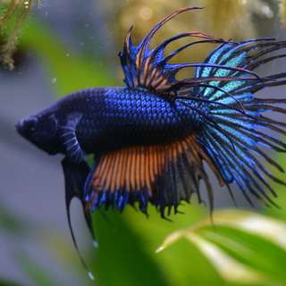 Crowntail Giant Betta (BO 4.7 cm)