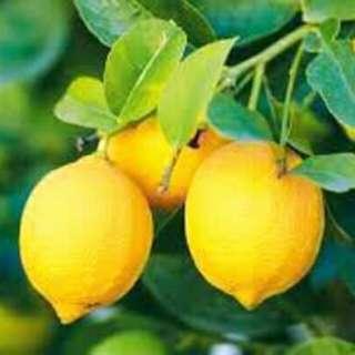Anak pokok Lemon Australia