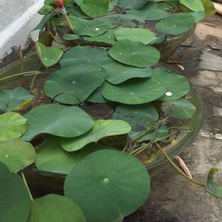 Lush mini lotus plants