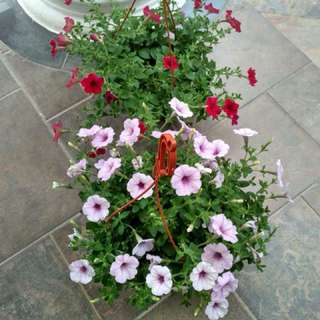 Hanging plants(2 colors)