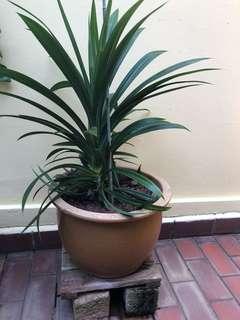 PANDAN PLANT with POT