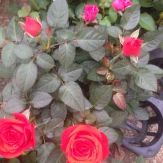 Roses for sale