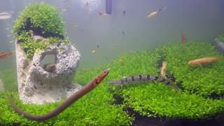 Aquarium water Carpet plants seed
