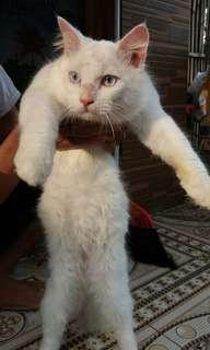 Kucing persimed mix himalaya