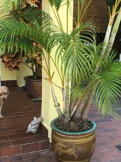 Yellow palm in an old large Chinese  pot