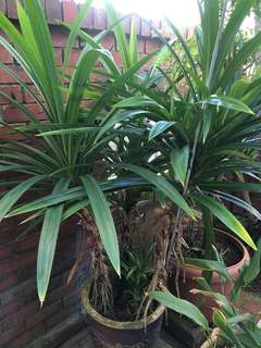 Big pandan plant in a pot