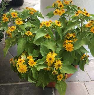 Flowers (yellow)