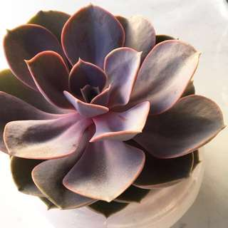 {Reserved} Succulent Echeveria Perle von Nurnberg In Stock Now