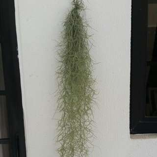 Spanish Moss Airplant