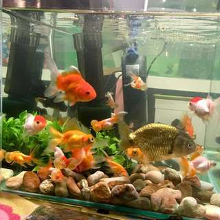 Goldfish ( Telescope butterfly, Orlando, Fantail, Red Cap & Ranchu)